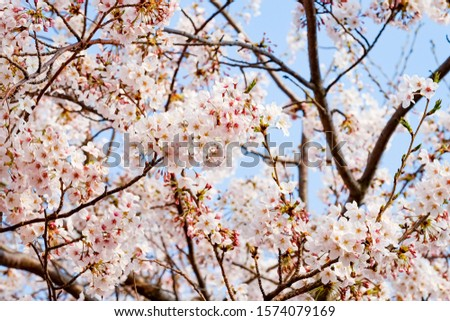 Cherry Blossoms in springtime for background