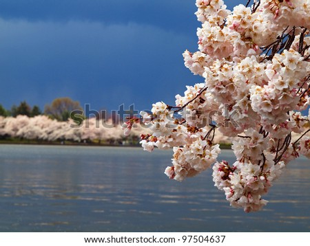 Cherry blossoms in Washington, DC with storm clouds in the background.