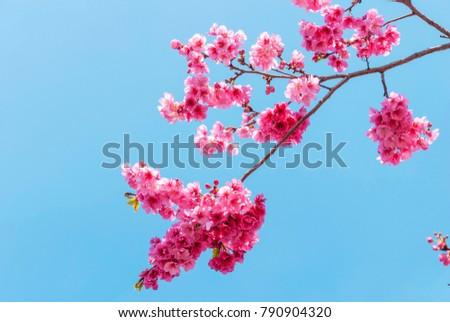 free photos chinese cherry blossom in lijiang china avopix com