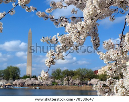 cherry blossoms of Washington DC blooming in the spring season at the Tidal Basin