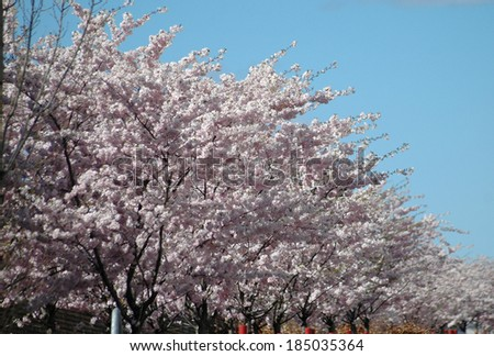 cherry blossoms on cherry trees, early spring in Berlin.