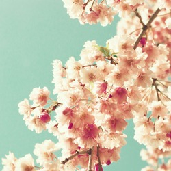 Cherry blossoms on mint