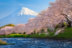 Cherry blossoms or Sakura and Mountain Fuji at the river in the morning
