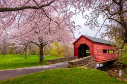 Cherry blossoms over covered bridge, Frederick, MD