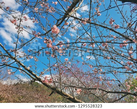 Cherry blossoms. Pink sakura flowers blossoming in late winter, early spring at taiwan, Nantou. Background of branches, blue sky, white clouds and mountains.