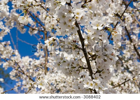 Cherry Blossoms Washington DC travel series 66 - stock photo