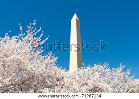 Cherry Blossoms Washington Monument in Washington DC