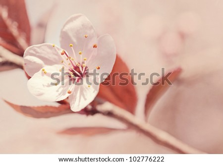 Cherry blossoms with soft background