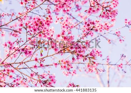 Cherry Blossum Flowers at Chiangmai Province, Thailand