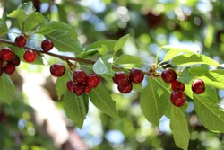 Cherry branch. Red ripe berries on the cherry tree.