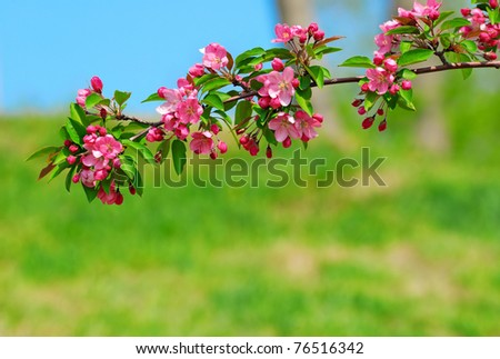 cherry branch with pink flowers on green