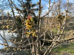 Cherry bud, sprout, burgeon at the early spring on the end of the fresh branches.