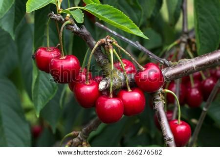 Cherry/Cherry tree in the sunny garden.