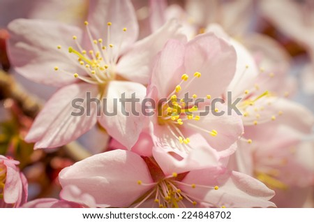 Cherry flower/Cherry flower