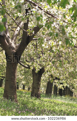 Cherry flower trees at spring