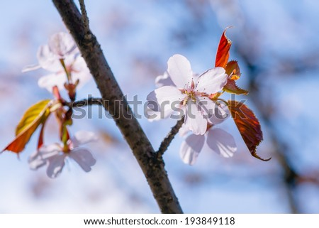 Cherry flowers and red leaves. Branch of a cherry tree with two smaller twigs, pink cherry flowers and red leaves. This is a japanese sakura in full bloom. Blue and pink background.