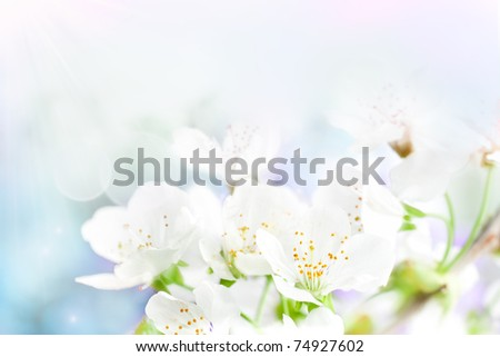Cherry flowers background