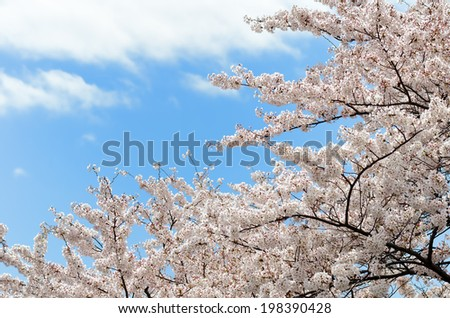 Cherry flowers. The flower of the cherry tree which blooms in spring of Japan.