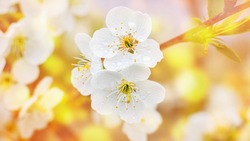 Cherry flowers with drops of dew on a blurred golden background