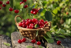 Cherry fruit basket  and  cherry tree branch