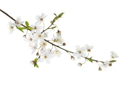 Cherry in blossom isolated on white  background.