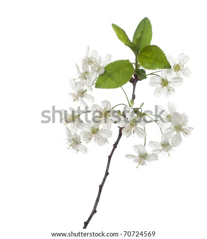 cherry in blossom isolated on white. very shallow depth of field