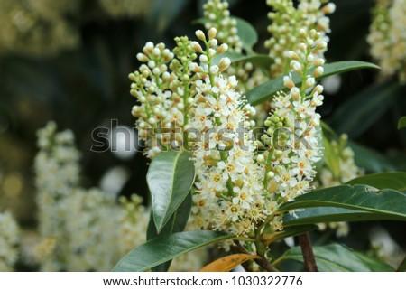 Cherry laurel, common laurel #1030322776