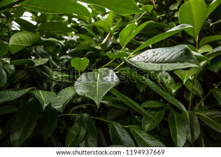 Cherry laurel, English laurel (Prunus laurocerasus) branch with green leaves after rain #1194937669