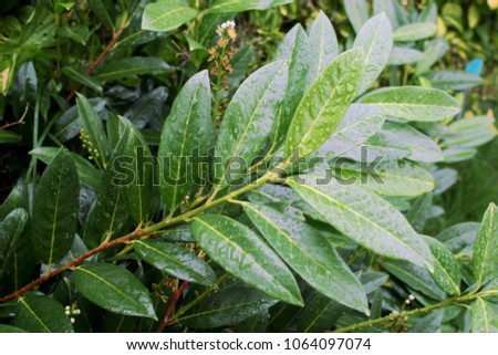 Cherry laurel, English laurel (Prunus laurocerasus) branch with leaves after rain #1064097074