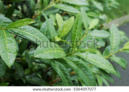 Cherry laurel, English laurel (Prunus laurocerasus) branch with leaves after rain #1064097077