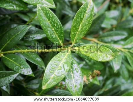 Cherry laurel, English laurel (Prunus laurocerasus) branch with leaves after rain #1064097089