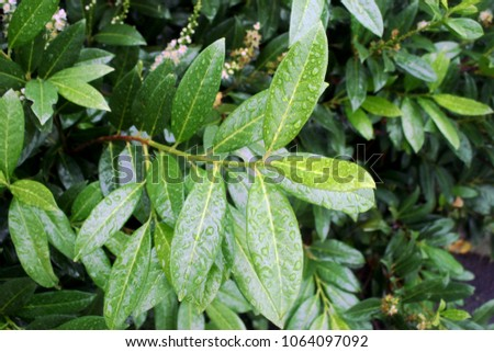 Cherry laurel, English laurel (Prunus laurocerasus) branch with leaves after rain #1064097092