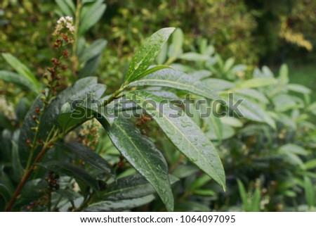 Cherry laurel, English laurel (Prunus laurocerasus) branch with leaves after rain #1064097095