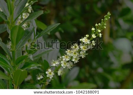 cherry laurel; Laurel; blossom; Prunus laurocerasus #1042188091
