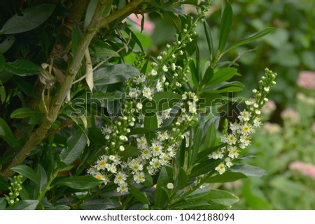 cherry laurel; Laurel; blossom; Prunus laurocerasus #1042188094