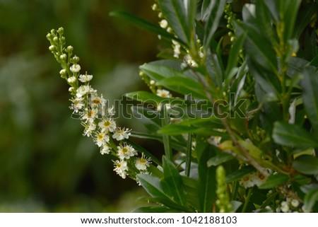 cherry laurel; Laurel; blossom; Prunus laurocerasus #1042188103