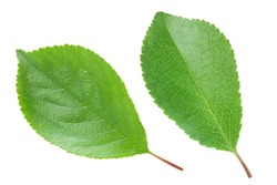 cherry leaf isolated on a white background with clipping path and full depth of field. Top view. Flat lay