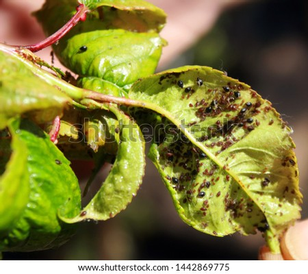 Cherry leaves affected by aphids. Insect pests on the plant