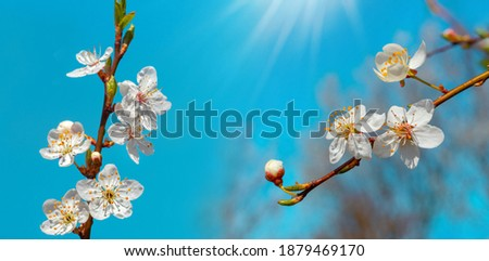 Cherry plum blossoms.Cherry plum flowers on a background of blue sky with the rays of the sun Stock photo ©
