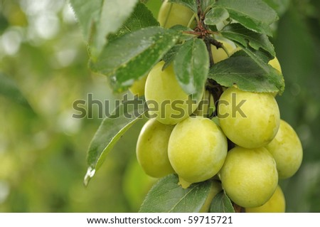 Cherry Plums on Branch