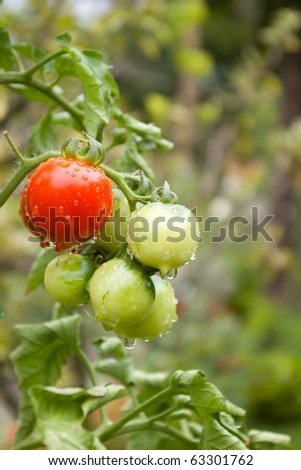 Cherry tomatoes after rain growing in garden,