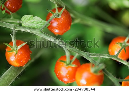 Cherry Tomatoes growing in a container garden outdoors in late summer.