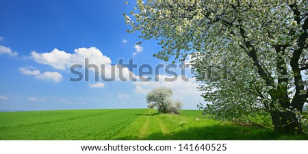Cherry Tree Blooming on Farm Track through Green Fields in Spring Landscape, panorama made from 2 D800 images
