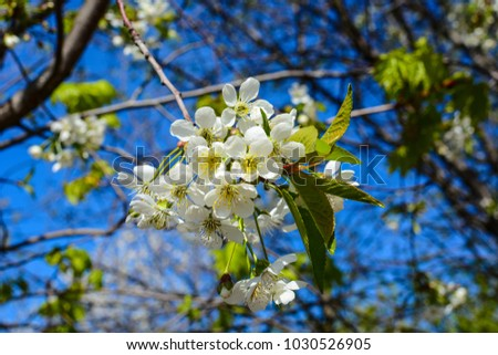 Free photos orange blossoms tree in early spring white flowering cherry tree blooms in sunny day early spring white flowers 1030526905 mightylinksfo