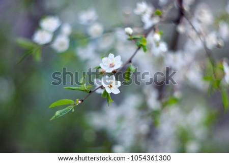 Cherry tree blossom at spring.
