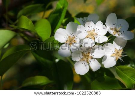 Cherry tree blossom background closeup of beautiful branch with cherry tree blossom background closeup of beautiful branch with small white flower buds gentle mightylinksfo