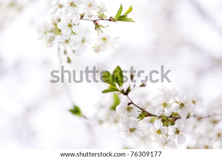 Cherry tree blossom in spring