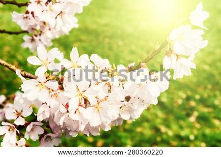 Cherry tree blossom in spring garden