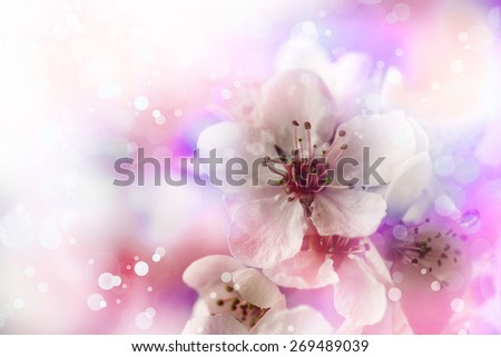 Cherry tree Blossom over nature background/ Spring flowers/ Spring bloom Background, romantic white flowers.