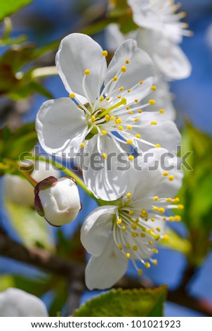 Cherry-tree blossom. White flowers and green leaves against a blue sky